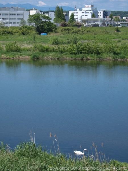多摩川に浮かぶ白鳥