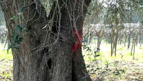 Xylella, FederBio, come salvare ulivi con metodi biologici