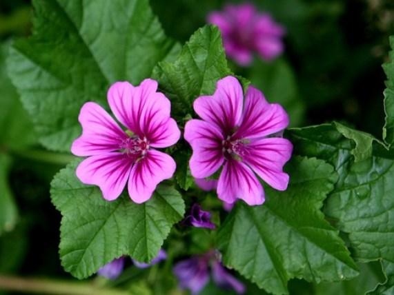 Malva pianta e fiori