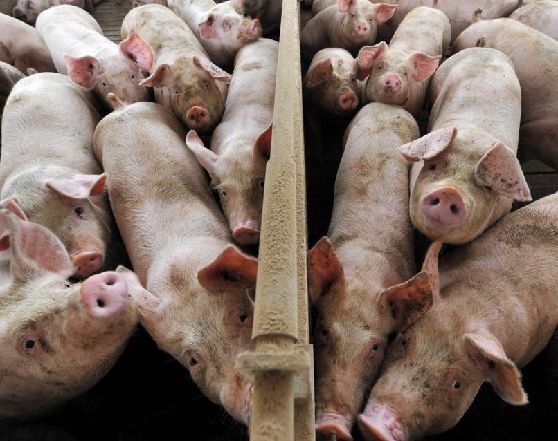 Rispediti in Polonia 112 maiali destinati alla macellazione: «Pericolo peste suina africana»