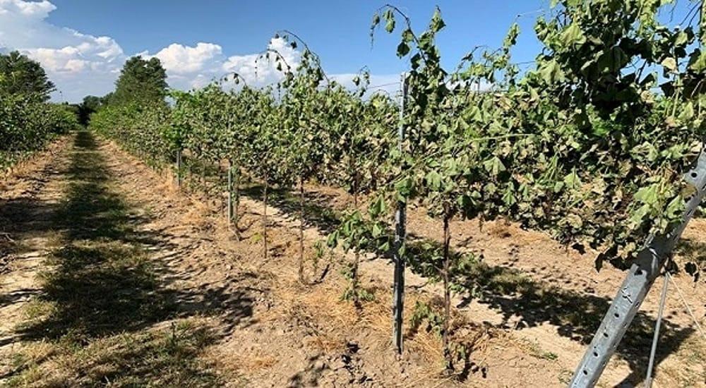 Distrutte 200 vigne di prosecco