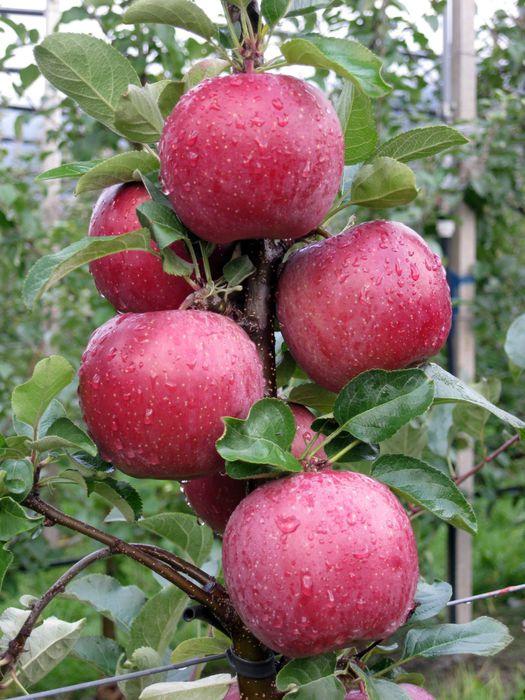 E' più rossa la nuova varietà di mela Fuji