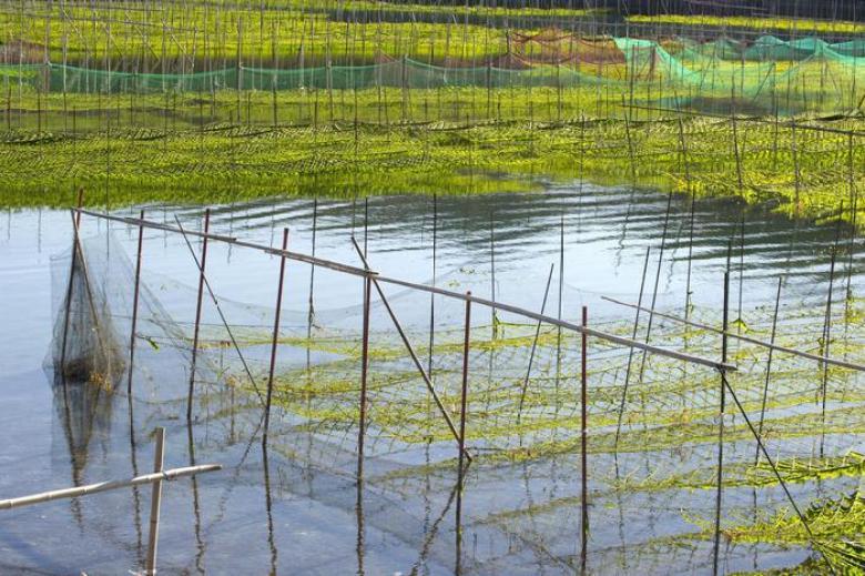 Alghe è business da 2,7 miliardi dollari, vola la spirulina
