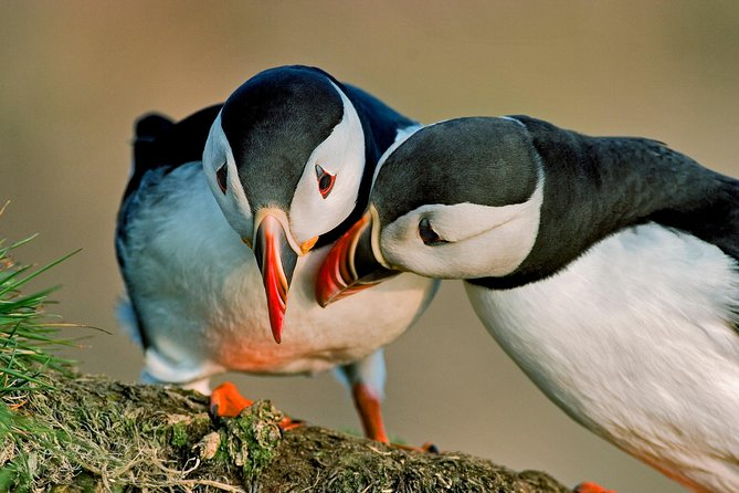 Two Atlantic puffins seen on a puffin boat cruise in Iceland