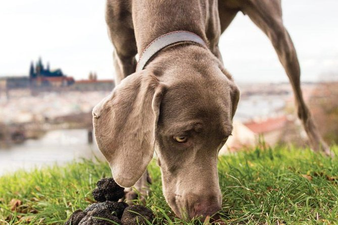 A dog sniffing truffles with Prague in the background.