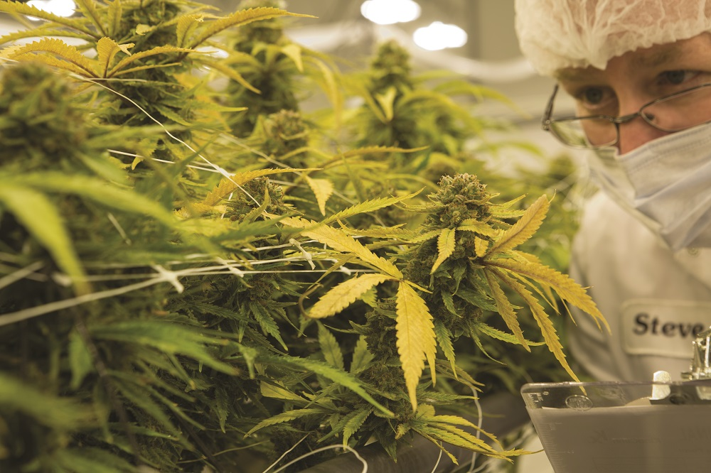 Growing medical cannabis in cleanroom inspection