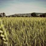 wheat fields climate change