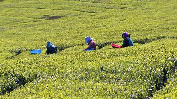 Tea Plantations in Kenya