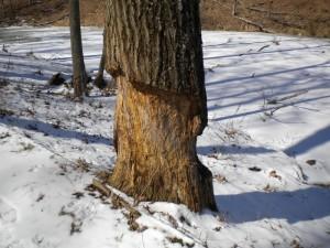 beavers1_MWF_2014.03.06