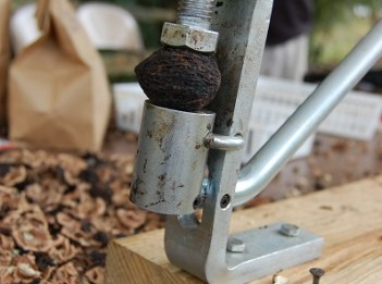 A black walnut sits in a vice. There are black walnut shells scattered around it.