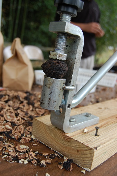 A black walnut sits in a vice. There are black walnut shells scattered around the device.