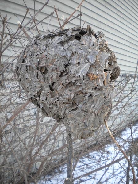 BaldFaced Hornet Nest_MWF (2)
