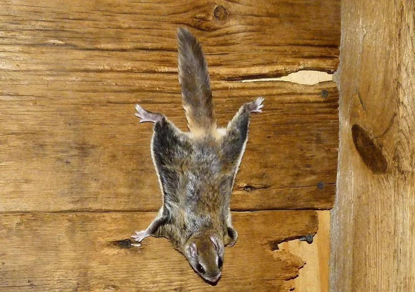 Southern flying squirrel  (Photo courtesy of ohdnr.gov)