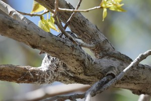 Blue-gray gnatcatcher in its nest (Photo by Wildreturn on Flickr)