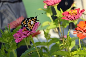 A monarch rests on flowers planted for pollinators on the Rothenberg Elementary rooftop garden