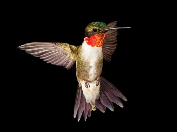 A ruby throated hummingbird. Via Ohio Department of Natural Resources.