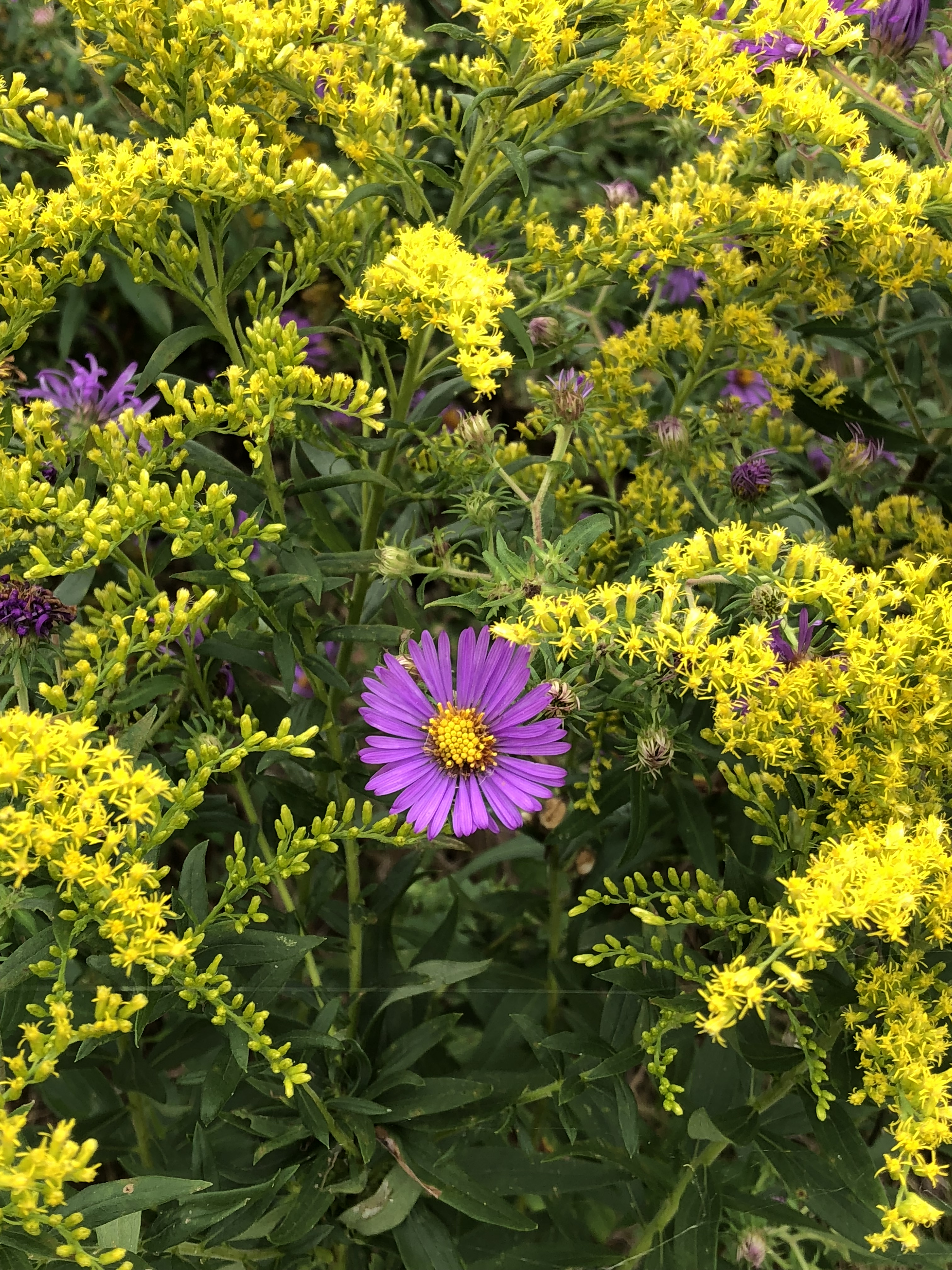 New England aster is surrounded by tall goldenrod.