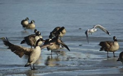 Canada Geese on Winton Lake