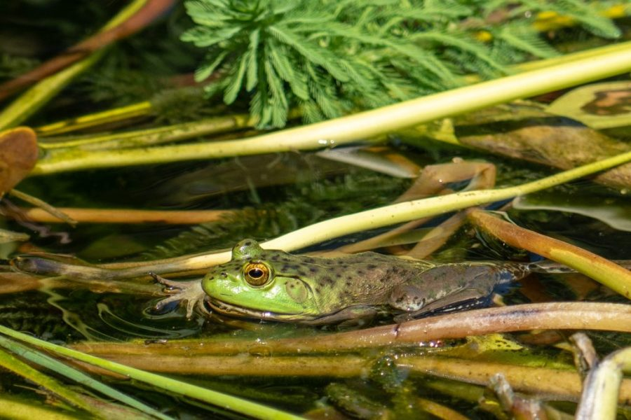 A bullfrog (Lithobates catesbeiana) rests in a pond.