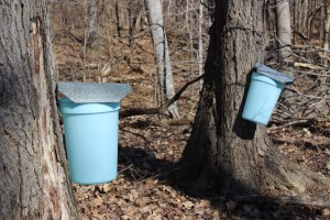 It's a sunny winter day. Two light blue buckets are attached to maple trees, tapping the trees of their maple sugar.