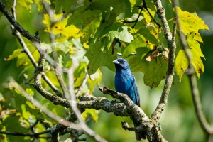 A brightly colored indigo bunting sits on a tree branch.