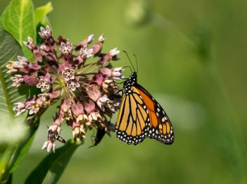 A monarch butterfly enjoys the nectar of common milkweed.