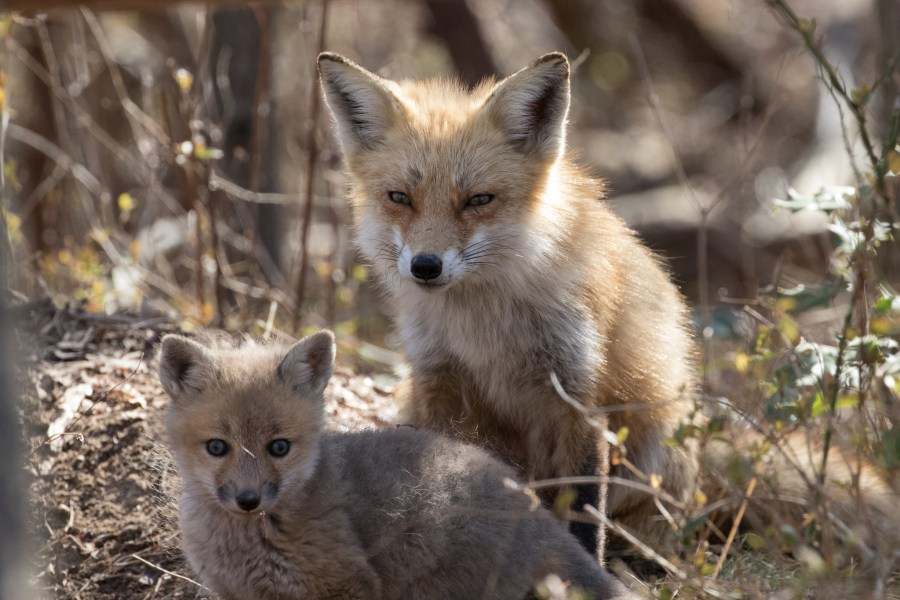 A red fox mom watches over her kits.
