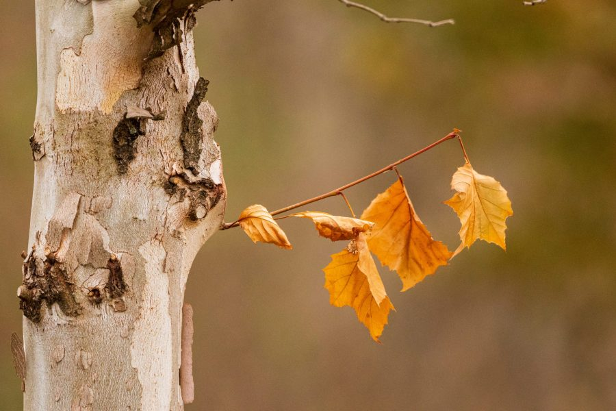 A few orange leaves are almost ready to fall from a brown tree in Winton Woods.