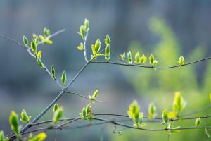 Green buds begin to grow on a tree branch.