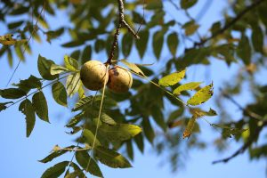 Two black walnuts hang from a tree branch.