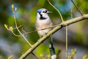 A blue jay sits among green branches that are just beginning to bloom in the spring.