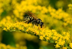 European paper wasp on goldenrod