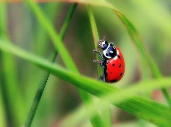 A red convergent ladybug climbs a blade of grass.