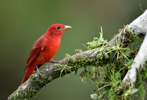 A bright red summer tanager rests on a tree branch.