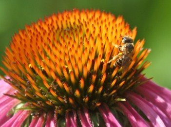 A honey bee sits on a purple coneflower.