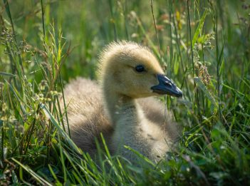 A Canada goose gosling sits in a field. It is sunny.