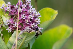 A bumblebee pollinates a milkweed plant.