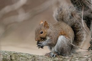 A squirrel sits in a tree, eating a nut.