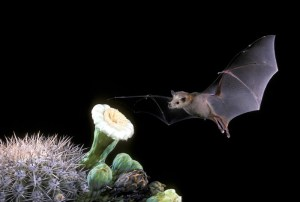 A lesser long-nosed bat flies toward the white flowers of Saguaro cactus.