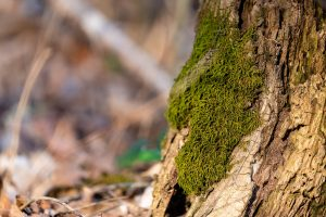 Moss covers the trunk of a mature tree.