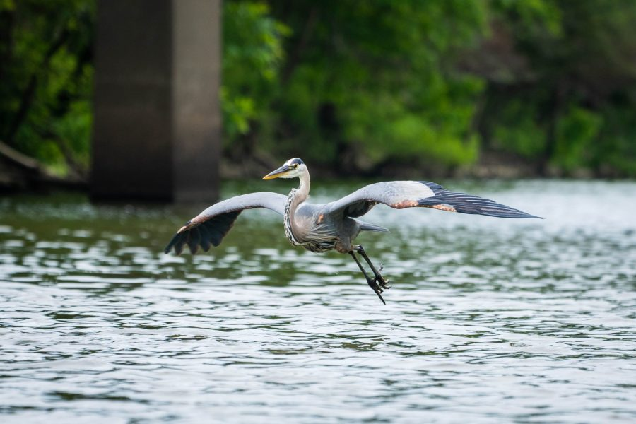 A great blue heron is mid-flight over Winton Lake on a summer day.