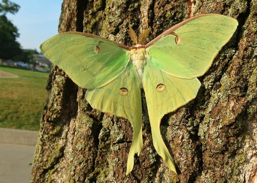 A bright green Luna moth (Actias luna) opens its wings while resting on a tree.