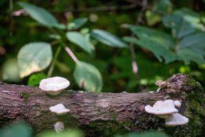Mushrooms grow on a fallen tree