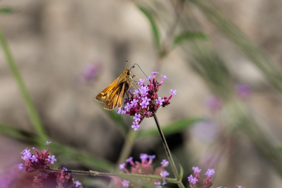 An orange-colored moth enjoys nectar from a purple flower.