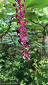 A magenta-colored vine of the American pokeweed hangs in a garden. Ripe blue poke berries and not-quite-ripe green berries blossom on the vine.