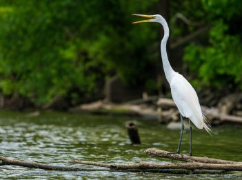 A white egret perches on logs overlooking Winton Lake. Its beak opens, calling out for other egrets.