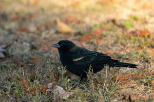 A red-winged blackbird enjoys a snack during a fall day at Winton Woods.