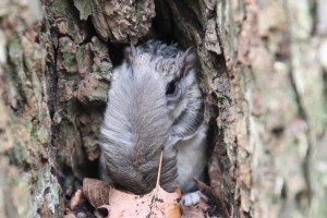 A southern flying squirrel hides behind its tail, sitting in a hole in a tree.