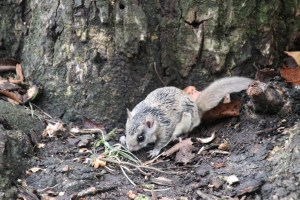 A southern flying squirrel stops at the trunk of a tree and smells its surroundings.