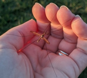 A crane fly (Tipulidae family) sits in a person's hand.